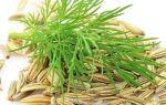 Лечение поджелудочной железы семенами укропа